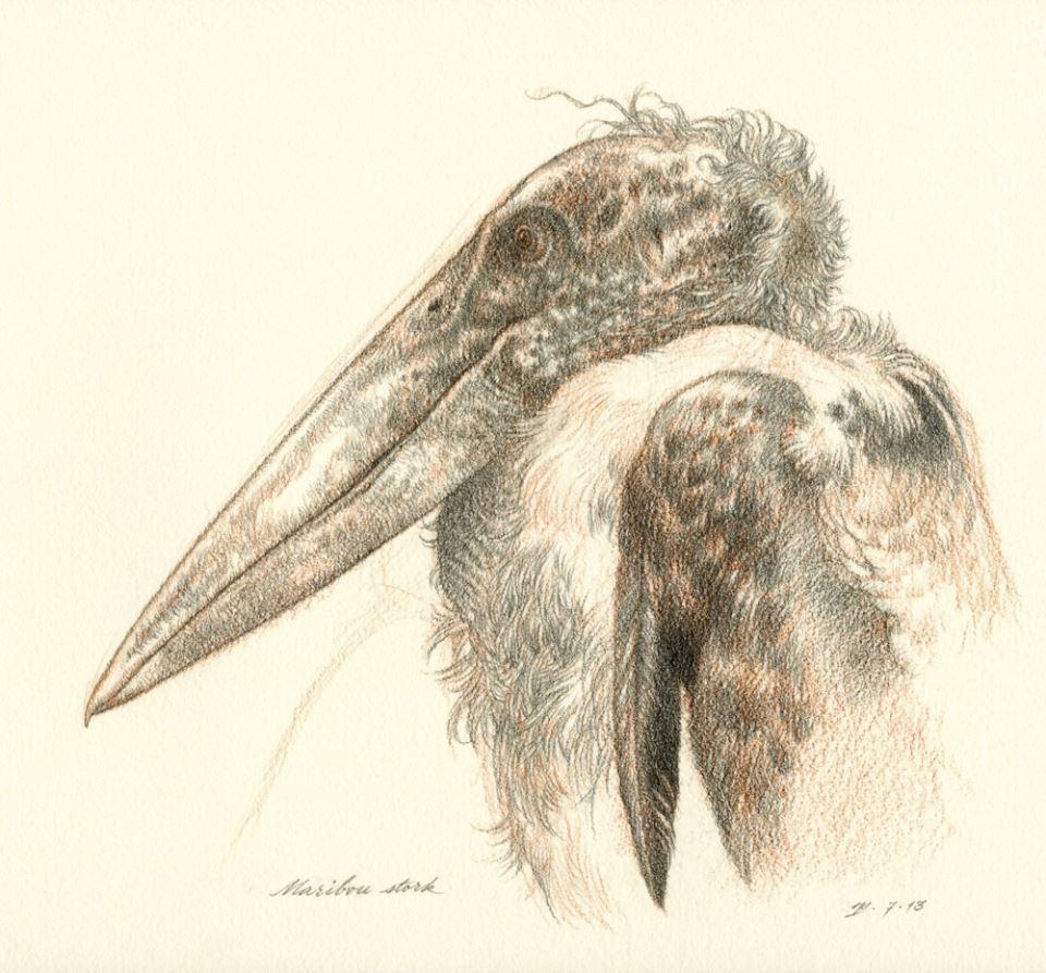 <b>Marabou Stork</b>